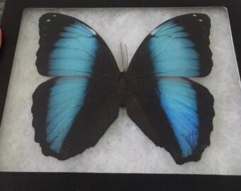 Framed Morpho Achilles Butterfly