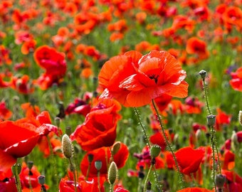 Red Field Poppy 1 g 10 000 Organic Handpicked Seeds 2017 Papaver rhoeas Flanders Poppy Seeds Wildflower Organic NonGMO