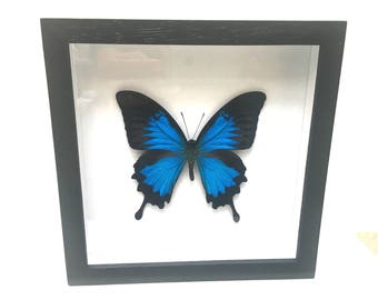 Beautiful Large Papilio Ulysses Butterfly/Insect/Taxidermy/Lepidoptera.