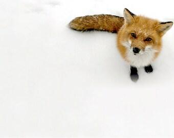 Set of 4 5x7 Snow Fox Cards