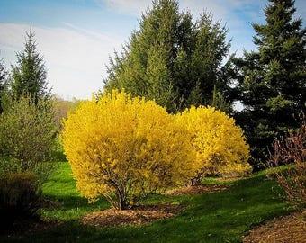 3 x Lynwood Gold Forsythia shrub 2 feet tall
