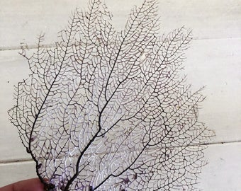 """Natural Dried Sea Fan Coral 7"""" Natural Color of White/Purple/Brown, Coastal Home Decor, Beach Wedding, Framing Project"""