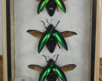 Real Insect Jewel  Beetle Sternocera Aegusignata Taxidermy  Double Glass In Frame