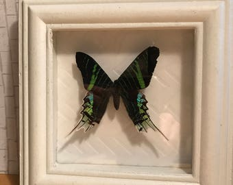 Day flying green banded butterfly display