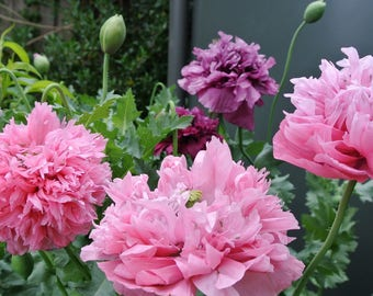 Peony Poppy Seeds (mixed pink and mauve)