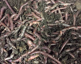 1lb African Nightcrawlers - Simple Grow Worms
