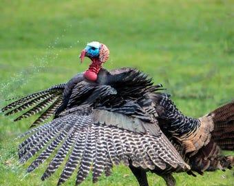 Wild turkey in action fine art photography