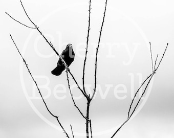 Bird on Branches Digital Photography Download Black and White Scotland Printable Wall Art Desktop Background DIY Home Decor Large Print