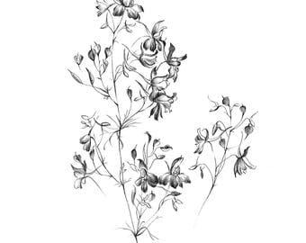 Botanical Art Sketch, wild flower artwork, graphics downloads, Larkspur line drawing, medicinal plants Prints, black white, wall decor