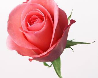 Light Pink Rose Bud Cross Stitch Pattern