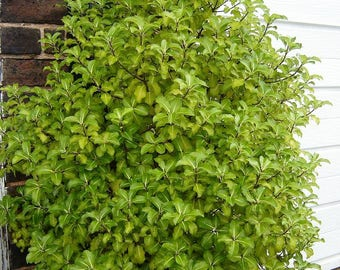 LIVE PLANT -- Pittosporum tenuifolium Gold Start - New Zealand Pittosporum