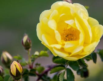 Yellow Rose And Buds.