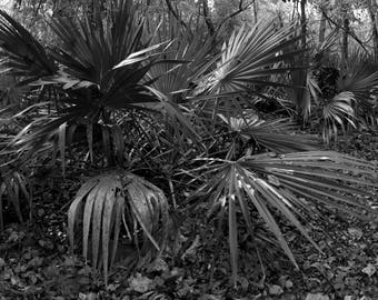 Wall Hanging, Black and White Photography of Texas Palm, Apartment Decoration, Living Room Decor, Home and Living, Botanical Print, Austin
