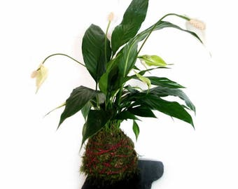 Kokedama large Spathiphyllum (40 cm.)