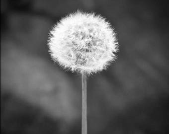 Fine Art Photography , Black and White Photography , Dandelion Photography , Dandelion Wall Art,