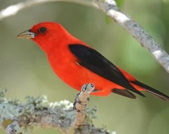 Framed Scarlet Tanager