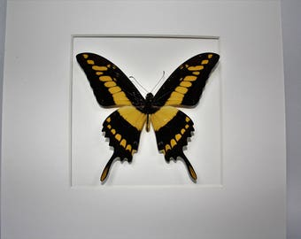 Butterfly in frame - Papilio Thoas