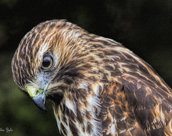Red-shouldered Hawk Glower