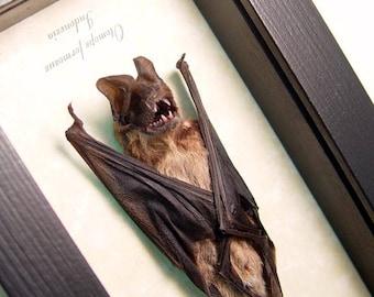 Real Framed Taxidermy Bat-Otomops Formosus Javan Mastiff Bat B1342