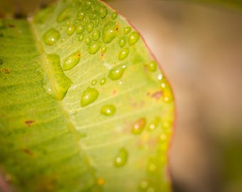 Hawaiian Fine Art Photography Canvas wrap- Green Leaf Plant -Macro -Dew -Raindrops