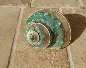 Jade Turbo Shell - Natural Turbo - Polished Jade Seashell - Polished Jade Turbo - Pearlized Shell - No. 211