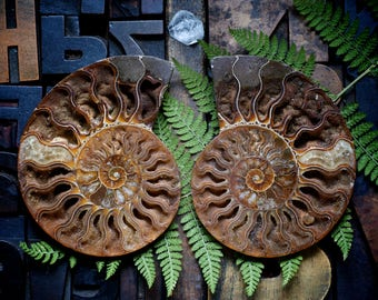 Ammonite fossil pair, nautilus shell, crystal druzy caves, healing meditation sacred geometry