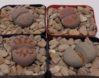 4 Pack Assorted Lithops FREE SHIPPING