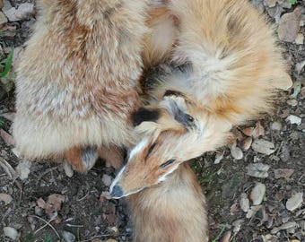 Soft Tanned Red Fox Pelt