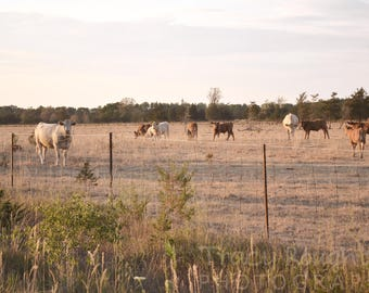Sunset over field of cows - horizontal printed photograph