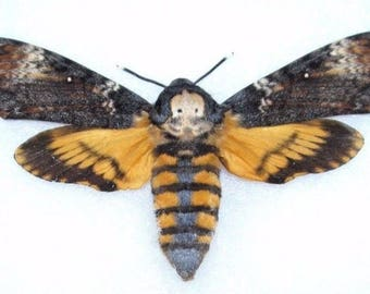 One Real Silence of the Lambs Death's Head Moth Acherontia Atropos