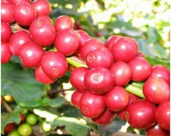 10 Arabian Coffee Tree Seeds, Coffea arabica