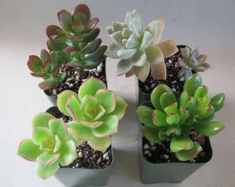 16 Succulent Plants Live Potted Collection
