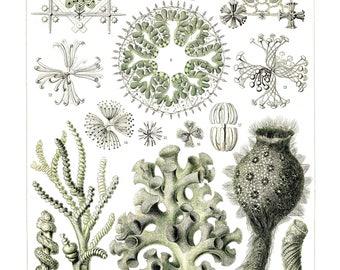Ernst Haeckel's Vintage Artwork Hexactinellae