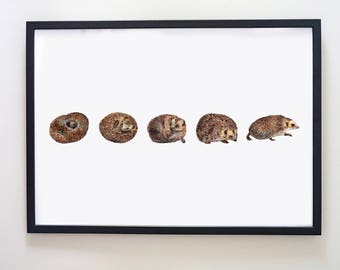 Hedgehog unrolling art print.