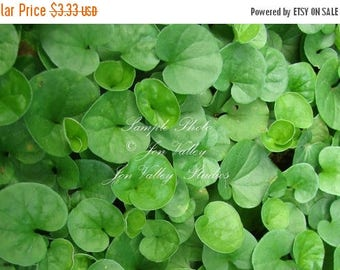 Asiatic pennywort small perennial herb 10 seeds delicate pink flowers Fast Growing Annual Water Gardening Centella asiatica