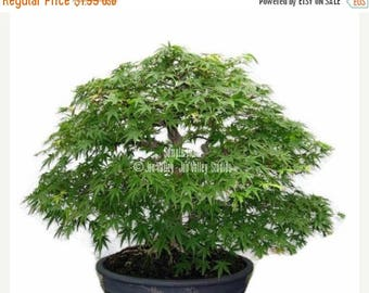 Japanese Green Maple 10 Seeds! Fine Green Leaves Fall Color Bonsai or Container & Standard Acer palmatum