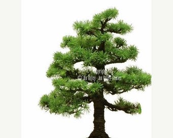 Larix etsy 12 seeds japanese larch bonsai tree weathered look conifer furrowed bark all purpose tree soft needles sciox Image collections