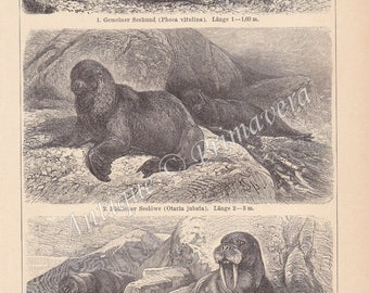 1898 Noble Walrus and Different Kinds of Seals Original Antique German Engraving