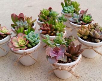 50 Succulent WEDDING Favors, Succulent Bridal Shower favor, Baby shower favor, Special Event Favor, Spring or summer