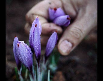 Saffron Crocus seeds,purple white  saffron crocus seeds,crocus of Kozani seeds,226,gardening,