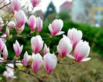Magnolia flower seeds,537, holly maries lilly,flower seeds,  flower ,spring flower,gardening