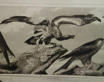 "BIRD prints original 1849 old antique print of birds of prey raptors falcon condor - vintage pictures vultures owls owl illustration 9x11"""