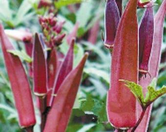 Okra Plant, Burgundy Organic