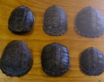 6 Snapping Turtle Shells