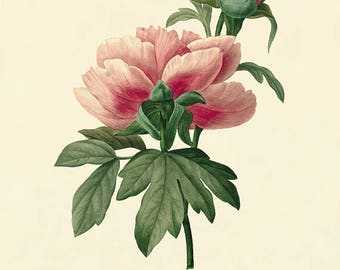 Pivoine art vintage flower art print Cottage wall art botanica print Victorian print French decor antique wall art Flower Garden print