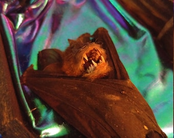 Taxidermy bat in large vintage coffin