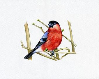 NEW PRINT! Bullfinch, Bird, Print of Original Watercolor Painting