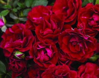 "Fire Meidiland Shrub Rose - 4"" pot - Repeat Bloomer/Very Hardy"
