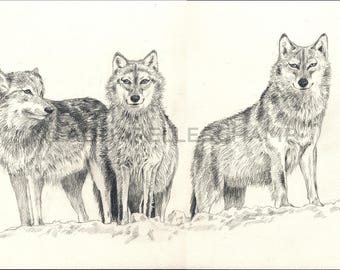 Study of wild animals - 3 wolves