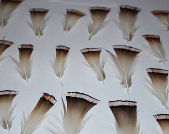 Red golden pheasant feathers